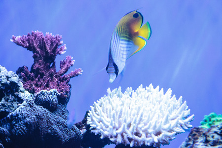 Raccoon butterflyfish Chaetodon lunula is found in the Indo-Pacific region. Stock Photo