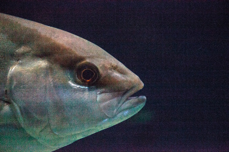 Graybar grunt fish Haemulon sexfasciatum actually make pig like noises to communicate.