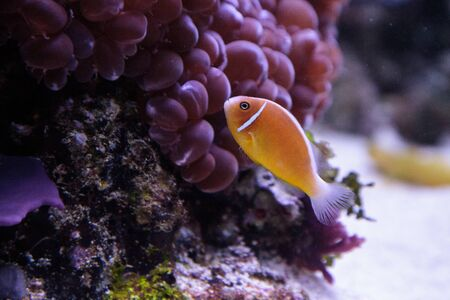 Naranja mofeta pez payaso llamado Amphiprion Perideraion es una especie de pez payaso se encuentra en Australia Foto de archivo