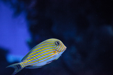 Striped surgeonfish Acanthurus lineatus swims on a coral reef