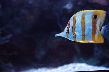Copper-banded butterflyfish, Chelmon rostratus, picks at the corals on the reef Stock Photo - 85157553