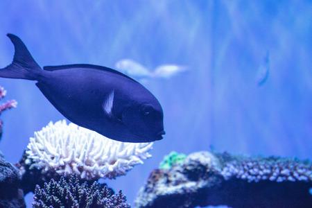 White-fin surgeonfish Acanthurus albipectoralis on a marine coral reef Stock Photo