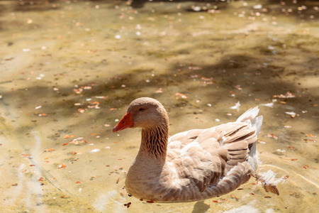 American buff goose Anser anser domesticus is a rare breed of goose used for meat and eggs. Banco de Imagens