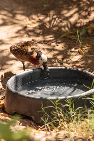 White-faced Whistling duck called Dendrocygna viduata is found in both America and Africa