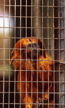Golden lion tamarin monkey called Leontropithecus rosalia rosalia sits in a cage in captivity