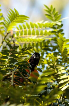 Yellow and black hooded oriole Icterus cucullatus is found in Mexico and Belize. Seen here hiding in a tree.