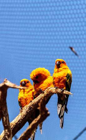 Bright yellow and orange sun conure parakeet Aratinga solstitialis Imagens