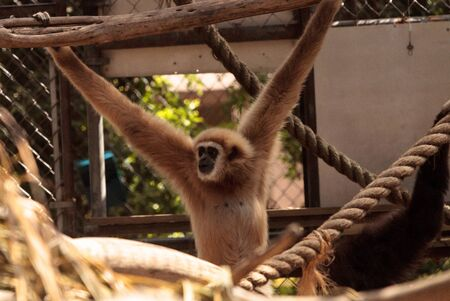 White-handed gibbon monkey called Hylobates lar sits in a cage in captivity