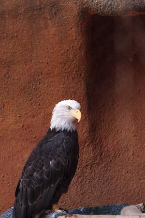 Bald eagle Haliaeetus leucocephalus perches on a branch in its enclosure as it recovers from injury. Stock Photo