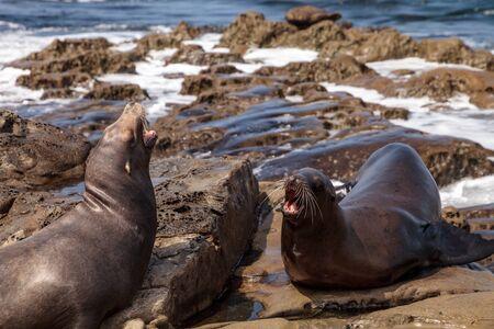 Arguing California sea lion Zalophus californianus shouting on the rocks of La Jolla Cove in Southern California