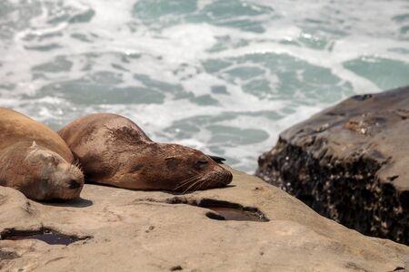 California sea lion Zalophus californianus sunning on the rocks of La Jolla Cove in Southern California Stock Photo