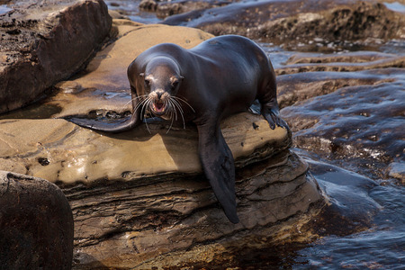 California sea lion Zalophus californianus sunning on the rocks of La Jolla Cove in Southern California Stock Photo