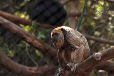 Black howler monkey Alouatta caraya is found in Argentina and Brazil. Stock Photo