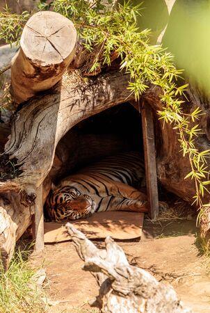 Bengal Tiger Panthera Tigris ist in seiner Heimat Nepal und Indien gefährdet. Standard-Bild - 86182221