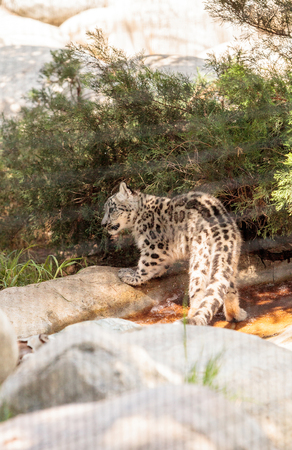 Snow leopard Panthera uncia found in the mountain ranges of China, Nepal and India. Stock Photo