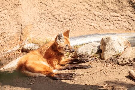 canid: Maned wolf Chrysocyon brachyurus can be found in the grasslands of Bolivia, Brazil and Paraguay. Stock Photo