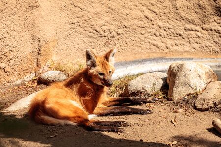 Maned wolf Chrysocyon brachyurus can be found in the grasslands of Bolivia, Brazil and Paraguay. Stock Photo