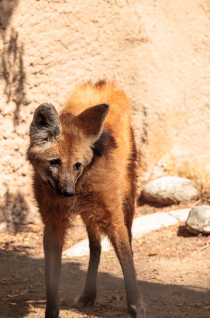 El lobo de crin Chrysocyon brachyurus se puede encontrar en las praderas de Bolivia, Brasil y Paraguay. Foto de archivo - 86182261
