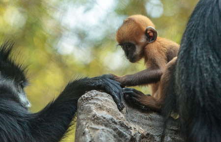 Mother and child Francois Langur monkey family also called Trachypithecus francoisi can be found in nature in China and northeastern Vietnam