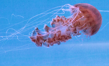 Black sea nettle jellyfish Chrysaora achlyos is also known as the black jellyfish or the sarlacc jellyfish and is found in the Pacific Ocean.