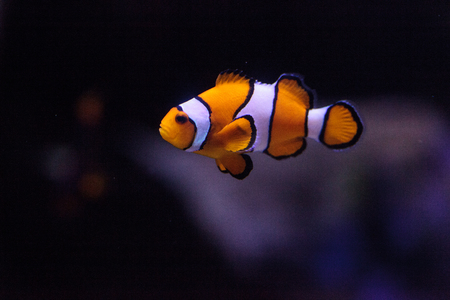 clown fish: Clownfish, Amphiprioninae, in a marine fish and reef aquarium, staying close to its host anemone Stock Photo