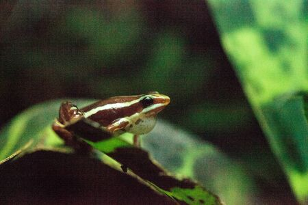Tricolor poison dart frog Epipedobates tricolor, also called the Phantasmal poison frog, is endemic to Ecuador. Imagens