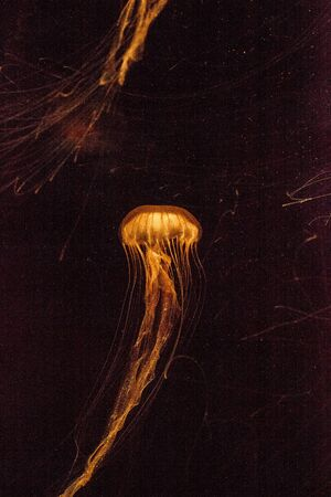 Japanese sea nettle Jellyfish, Chrysaora pacifica, can range in color from gold to red. Their dark stripes extend from the top to the bottom of the bell. Imagens