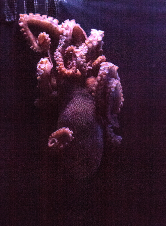 East Pacific red octopus is also called Octopus rubescens can be found in the shallow waters of the North American West Coast