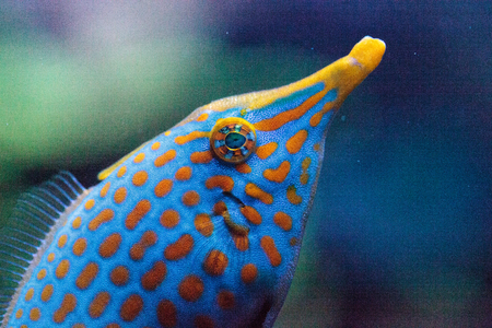 Orange spotted filefish Oxymonacanthus longirostris is found in the Indo-Pacific Oceans