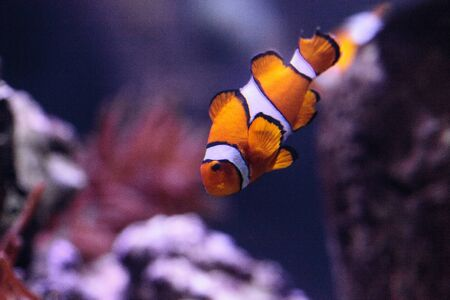 Clownfish, Amphiprioninae, in a marine fish and reef aquarium, staying close to its host anemone Imagens