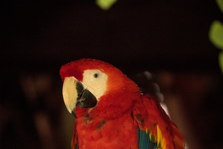 Scarlet Macaw Ara macao is a large parrot found in the rainforest of South America