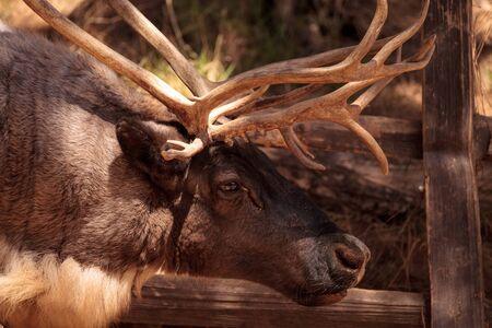 Rangifer tarandus sibiricus라고 불리는 시베리아 사슴은 그린 랜드, 몽골, 러시아, 노르웨이 및 핀란드의 툰드라에서 볼 수 있습니다.