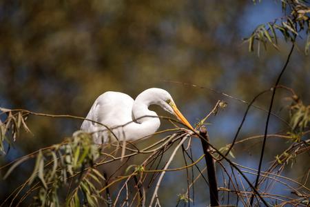 Great egret bird, Ardea alba, in a salt marsh in the upper Newport bay in Newport Beach, California, United States. Stock Photo