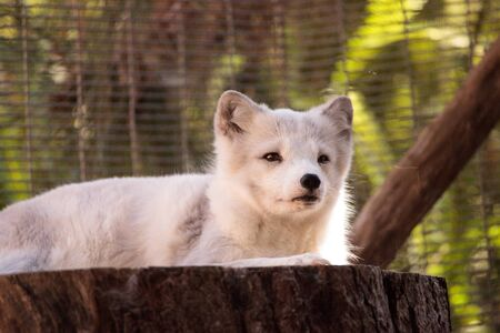 Arctic fox Vulpes lagopus has brown fur in the warmer months and white fur in the winter Stock Photo