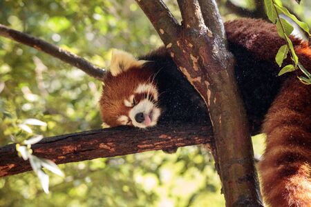 Red panda Ailurus fulgens forages for bamboo in a tree is found in the Himalayas and southwestern China.