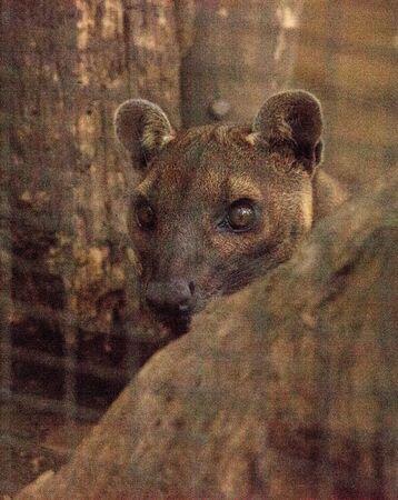 窩 Cryptoprocta ferox はマダガスカルの固有種、マングースの家族に密着