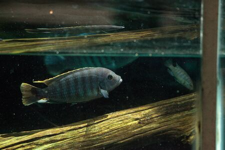 freshwater: African cichlids Cichlidae swim in freshwater rivers in Africa. These fish come in a variety of colors, shapes and sizes. Stock Photo