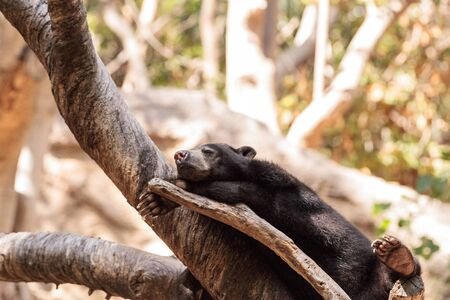 Sun bear Helarctos malayanus sleeps on a tree and is found in the tropical habitats of Southeast Asia.