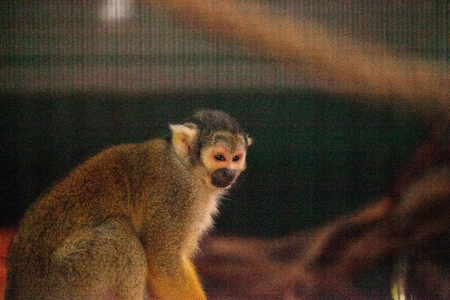 Peruvian black-capped squirrel monkey Saimiri boliviensis peruviensis watches from a cage.
