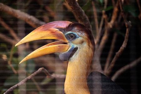 Knobbed hornbill bird Rhyticeros cassidix is found in Indonesia