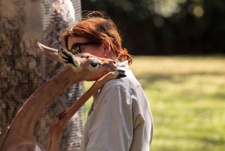 San Diego, CA, USA - October 6, 2017: Southern Gerenuk gives a member of the San Diego Zoo Safari park staff love and affection. Editorial only.