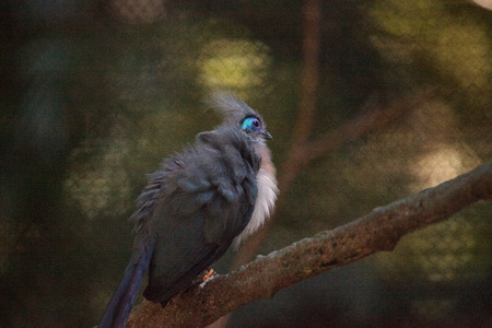 Crested coua bird called Coua cristata and is endemic to the forests of Madagascar Reklamní fotografie