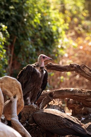 Hooded vulture Necrosyrtes monachus is a bird of prey in sub-Saharan Africa