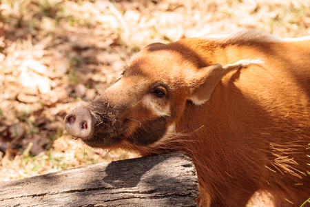 Red river hog Potamochoerus porcus is found in the rainforests in Africa Stock Photo