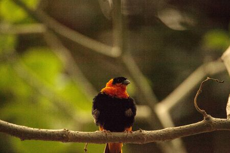 Northern red bishop bird Euplectes franciscanus can be found in Senegal to Kenya