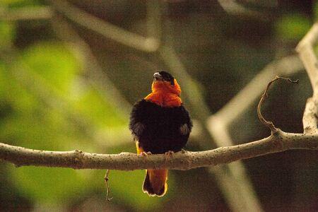 Northern red bishop bird Euplectes franciscanus can be found in Senegal to Kenya