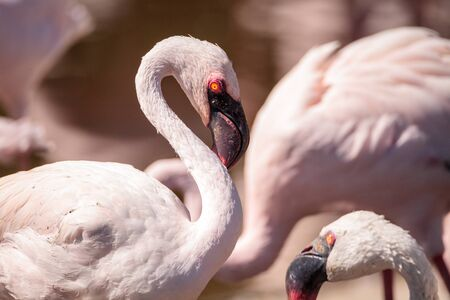 Pink lesser flamingo, Phoeniconaias minor, in the middle of a flock in India Stok Fotoğraf