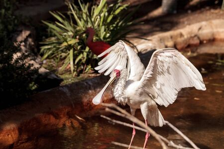African spoonbill called Platalea alba is found in Gambia and Sudan Stock Photo