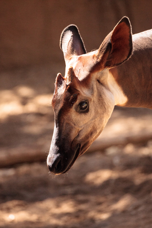 Okapia johnstoni オカピは、アフリカのコンゴの熱帯雨林に住んでいます。 写真素材