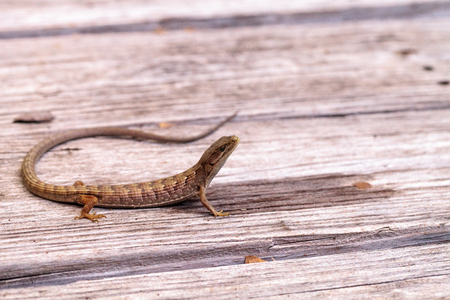 Southern Alligator lizard Elgaria multicarinata sunning itself on a wood picnic table